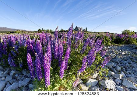 Foreground filled with colorful lupines in Lake Tekapo