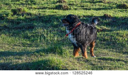 Bernese Mountain Dog happily walking on the grass