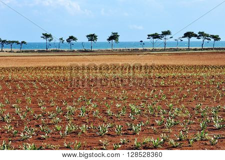 landscape with cultivated field in a summer day in Apulia Italy