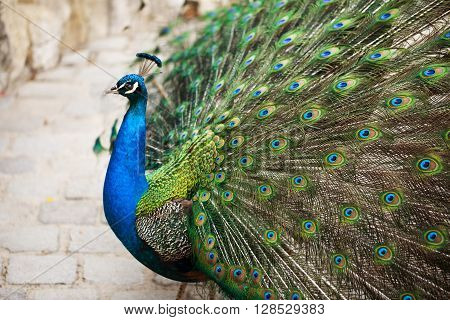 Beautiful peacock displaying his plumage. Portrait of peacock with feathers out