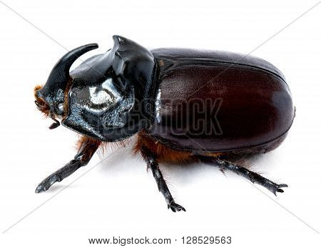 insects rhinoceros beetle on white background isolate