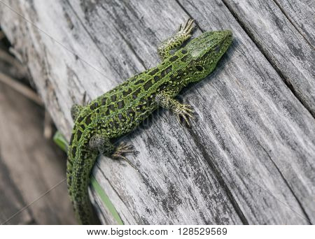 Green lizard on an old tree in a spring forest