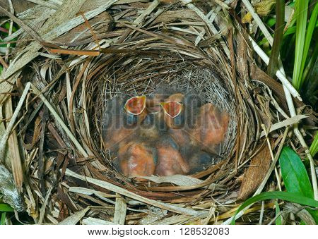 A nest of the bunting (Emberiza elegans) with small babies.