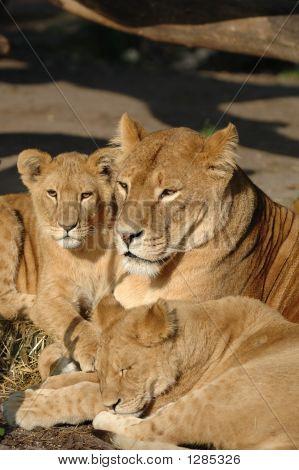 Família Leão