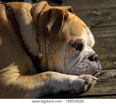 a bulldog stands guard pretending to sleep but with careful look