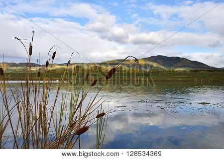 cattail on a river. autumn landscape on a river