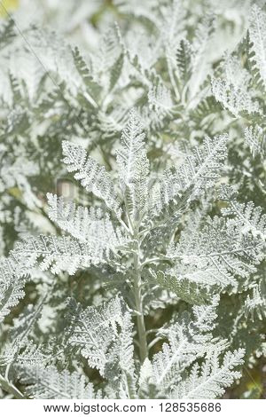 flora of Gran Canaria leaves of Tanacetum ptarmiciflorum natural background plant in danger of extinction