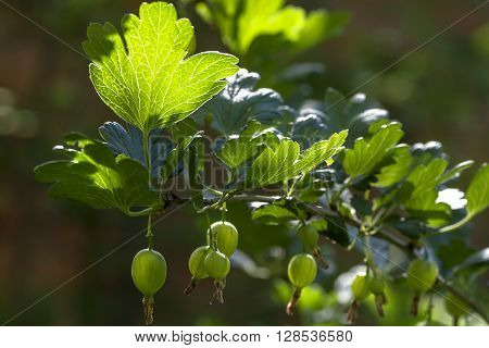 begin to keep pace with gooseberries on the Bush