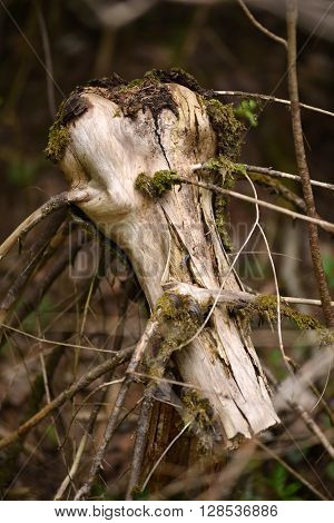 Dead tree stump in the forest in the summer