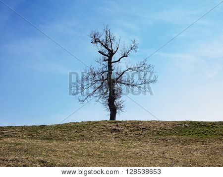 Last standing tree on a small hill.