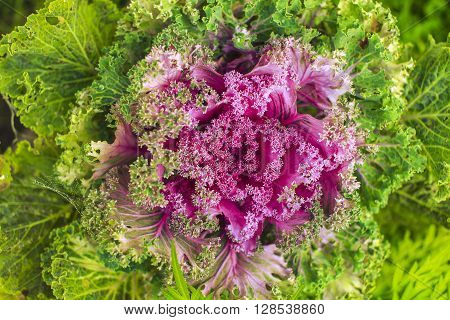 pretty ornamental kale closeup. background of pink decorative cabbage with cobwebs