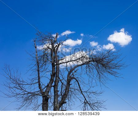 Old tree with drying branches with some clouds behind.