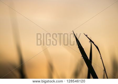 Silhouette of grasses with shining dewdrop on blades in warm light of sunrise.