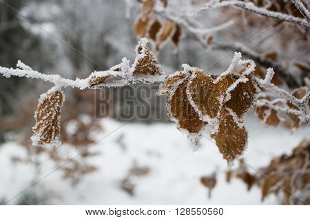 Beech Leaves with a Hoarfrost in Winter Forest.