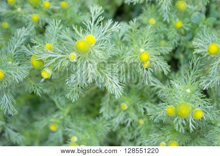 Wild Chamomile. Pineappleweed. Defocused green leaves and flowers background