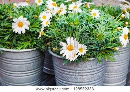 Beautiful close up fresh daisy, white chamomile flowers in bucket for flower decoration