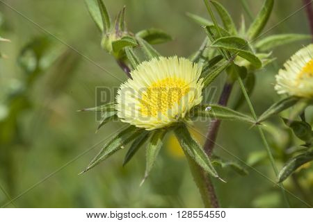 Flora Of Gran Canaria, Flowering Carlina Texedae