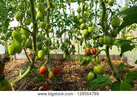 Green tomatoes growing in a greenhouse.Growth ripe tomatoes.