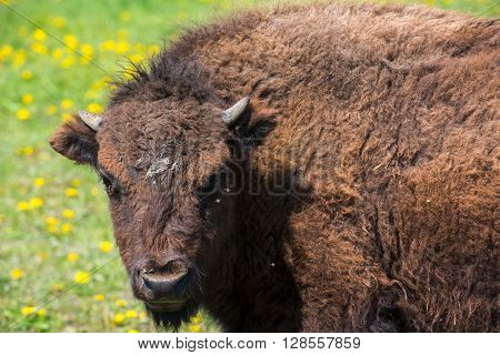 Portrait of the bison grazing on flowering meadow