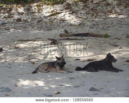 Stray dogs on the white sands are cool in the shade