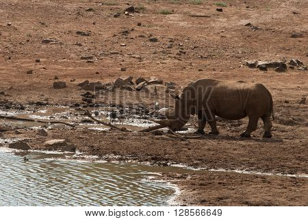A rhino in a national park in South Africa at a waterhole