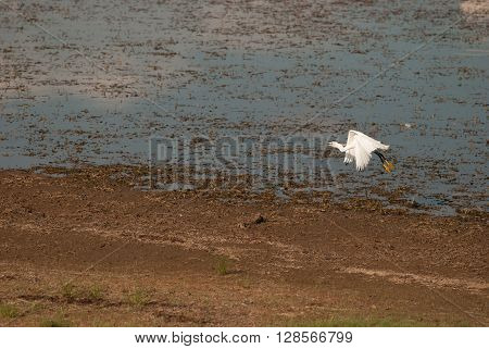 An egret landing at a waterhole in a national park in South Africa