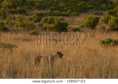 A lioness in a grassland in Pilanesberg national park in South Africa