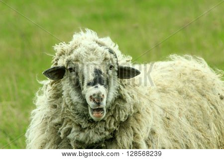 big sheep with thick fleece on the pasture