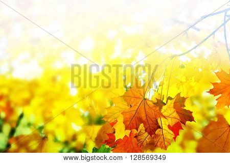 Golden Autumn foliage background with copy space. colorful autumn foliage.