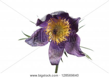 Eastern Pasque Flower (Pulsatilla patens) isolated on white background
