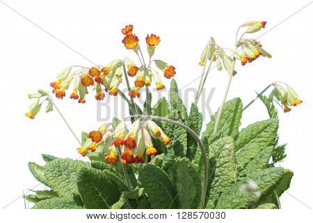 Red-flowered Primula veris plant isolated on white background
