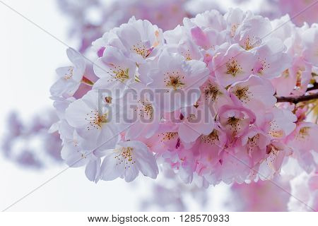 Close up of a cherry blossom bunch in full bloom during the first week of Spring.