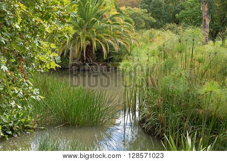 Common Spike rush, Cyperus papyrus, pickerelweed, and other aquatic plants growing in water in the garden, pond area in Australia