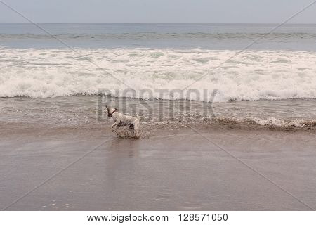 Parson Russell Terrier Jumping On The Pacific Ocean Waves