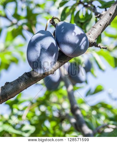 Ripe plums on the tree. Closeup shot. The blue sky on the background.