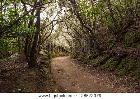 Laurel forest in Anaga National Park Tenerife Canary islands Spain