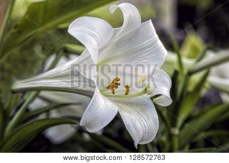 A close up of a peace lily showing pollen on the stamen.