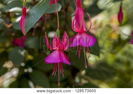 A close up of two pretty fuchsia flowers in a botanical garden.