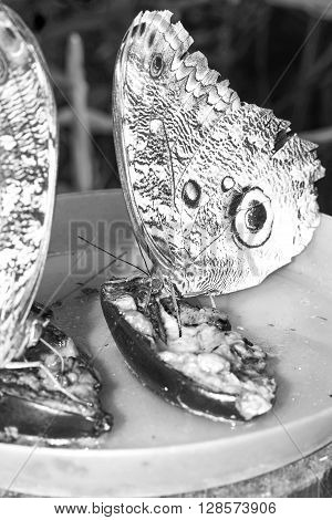 Owl Butterfly Is A Butterfly Known For Their Huge Eyespots Which Resemble Owls Eyes South America