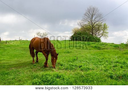 Peasant bay horse is grazed in a green field