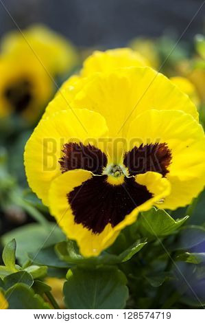 Macro of a yellow pansy in the garden.