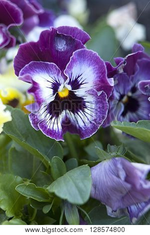 Close up of purple pansy in the garden.