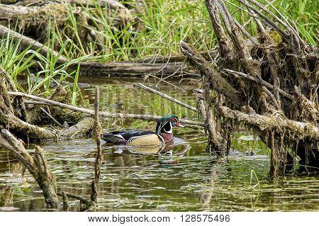 Wood duck in swampy area of Fernan Lake in Idaho.
