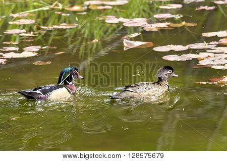 Wood duck couple swimming in pond a wetland area of Fernan Lake Idaho.
