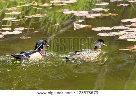 Wood duck couple swimming in pond a wetland area of Fernan Lake Idaho.