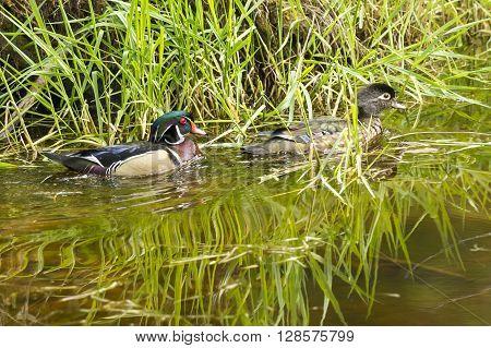 Cute wood duck couple in a wetland area of Fernan Lake Idaho.