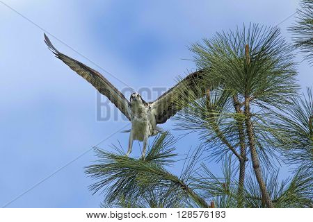 Perched Osprey with wings spread out wide.