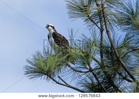 Perched osprey looking for food in Idaho.