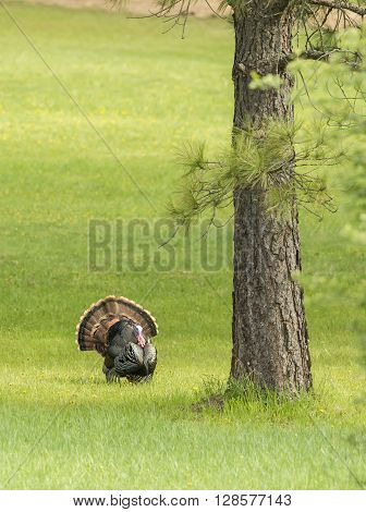 Turkey walking by the tree near Fernan Idaho.