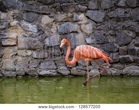 American flamingo (Phoenicopterus)  wild bird  in a zoo